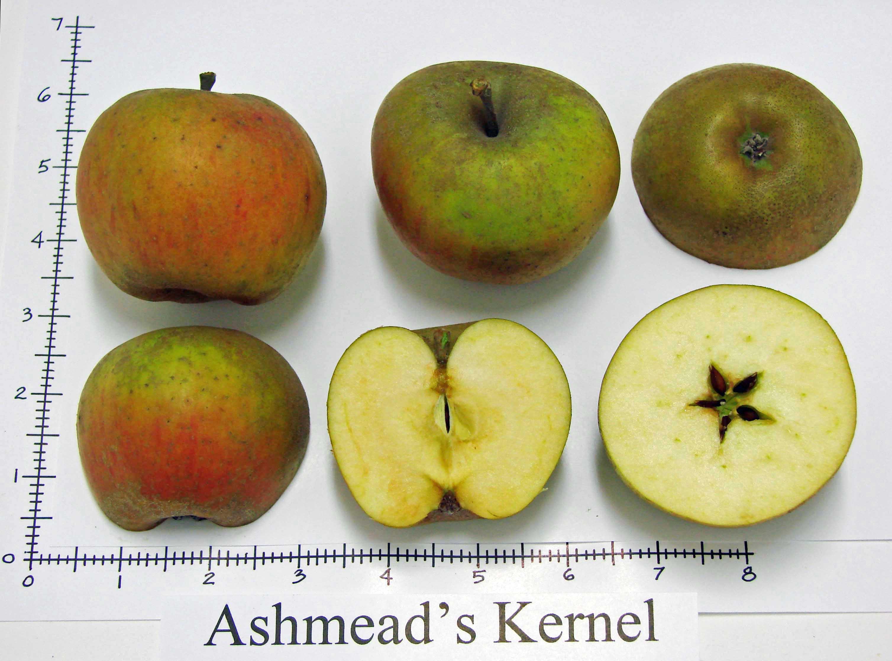 Ashmead\'s Kernel