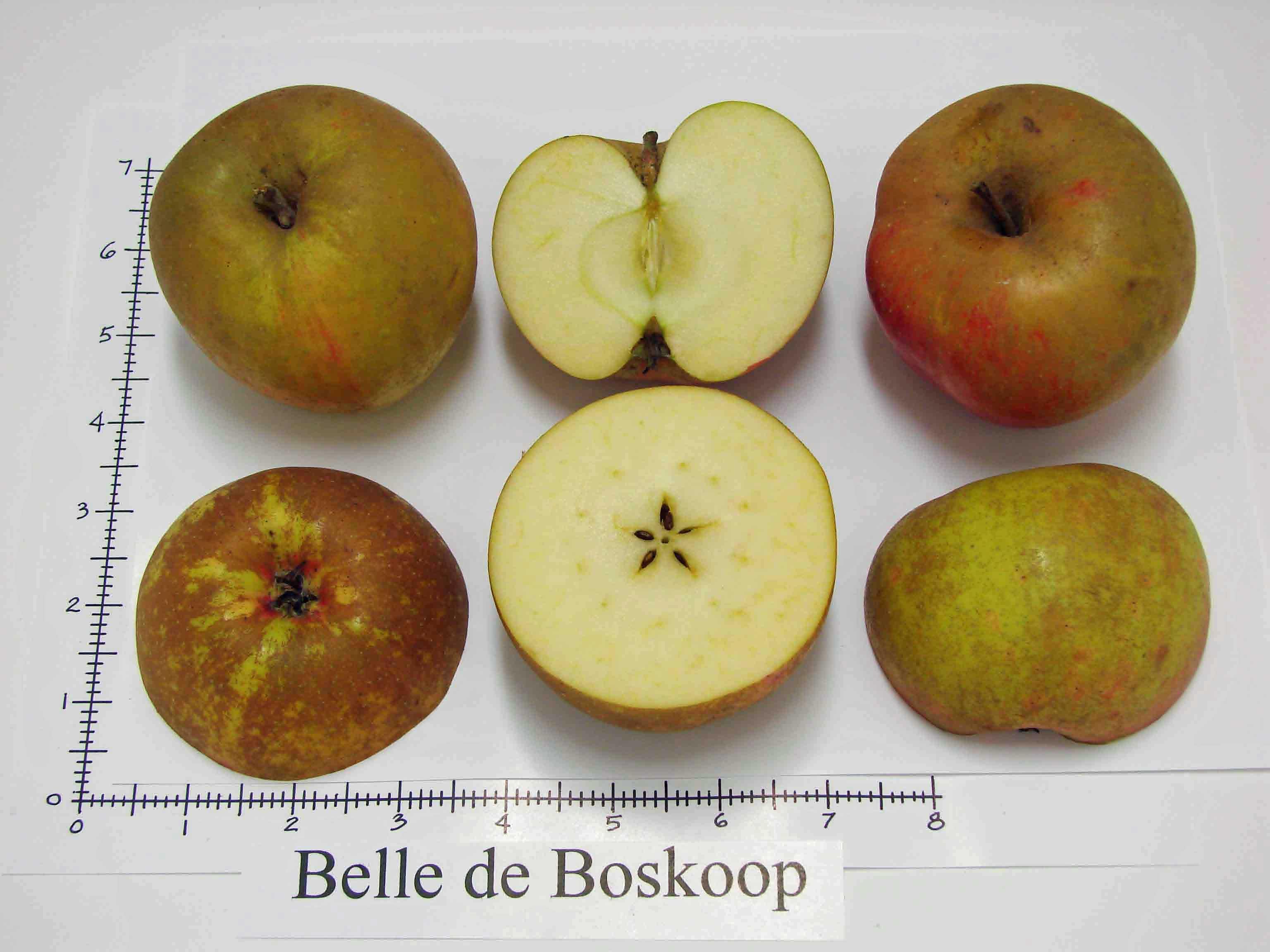 Belle de Boskoop