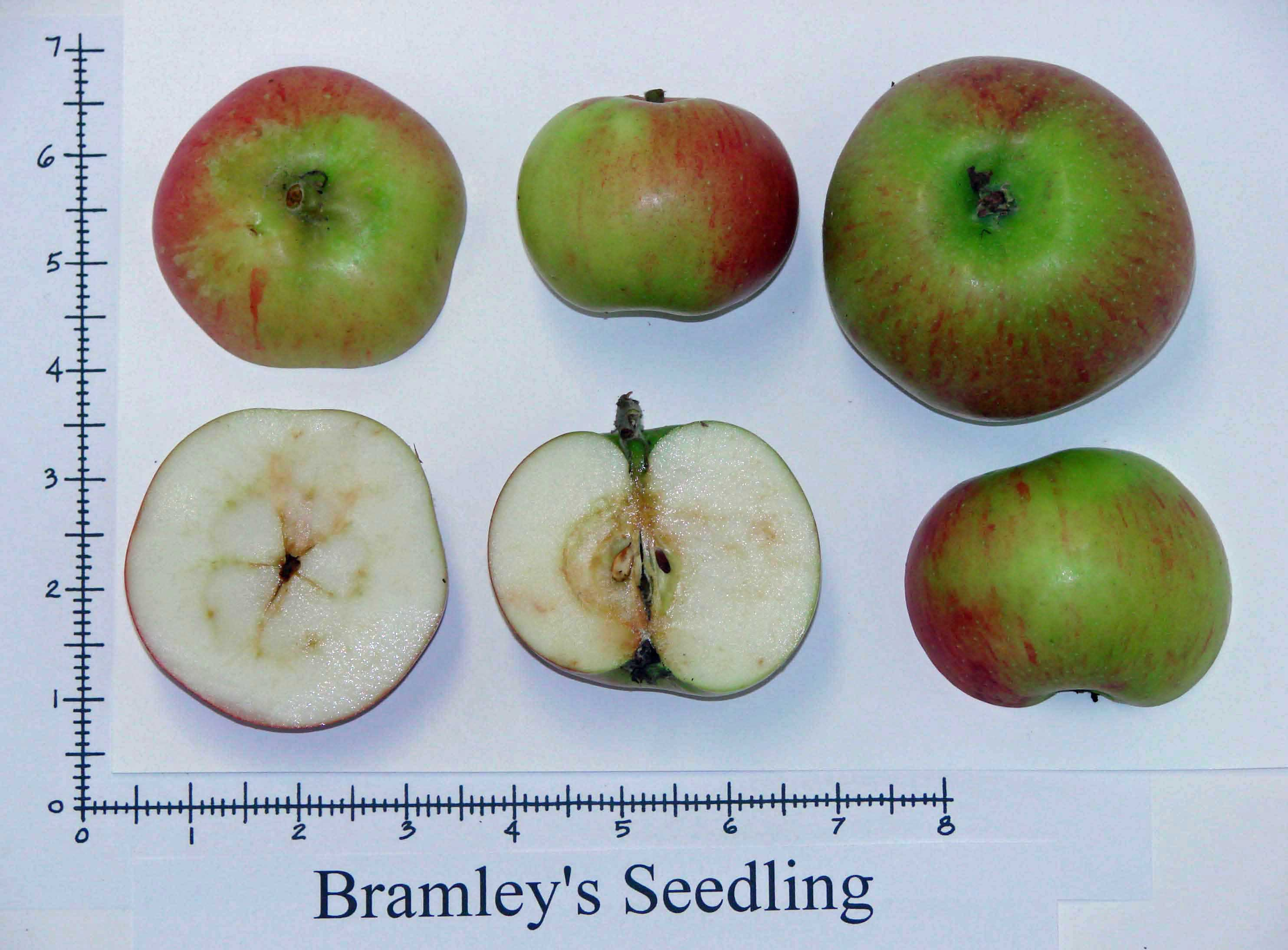Bramleys Seedling