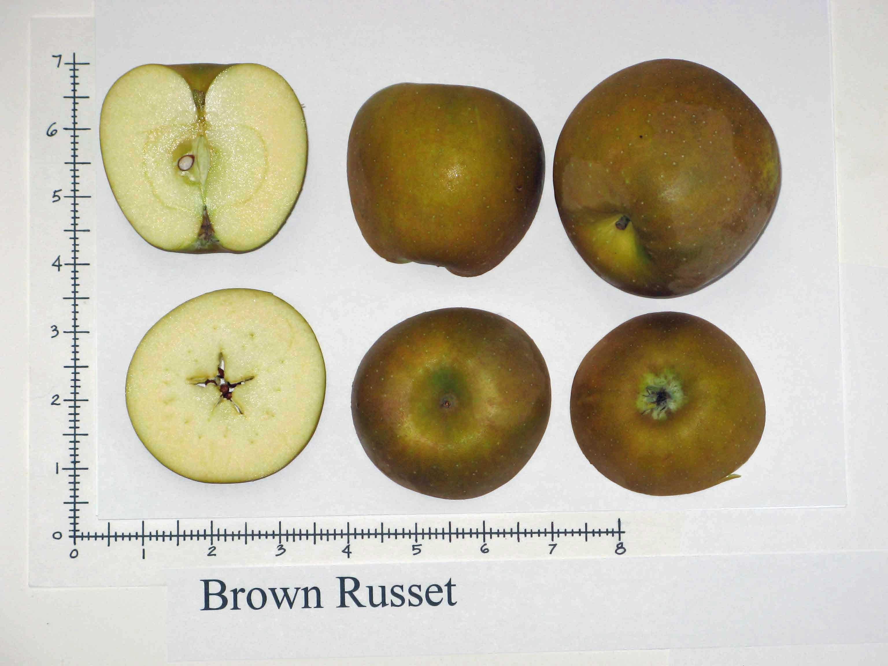 Brown Russet