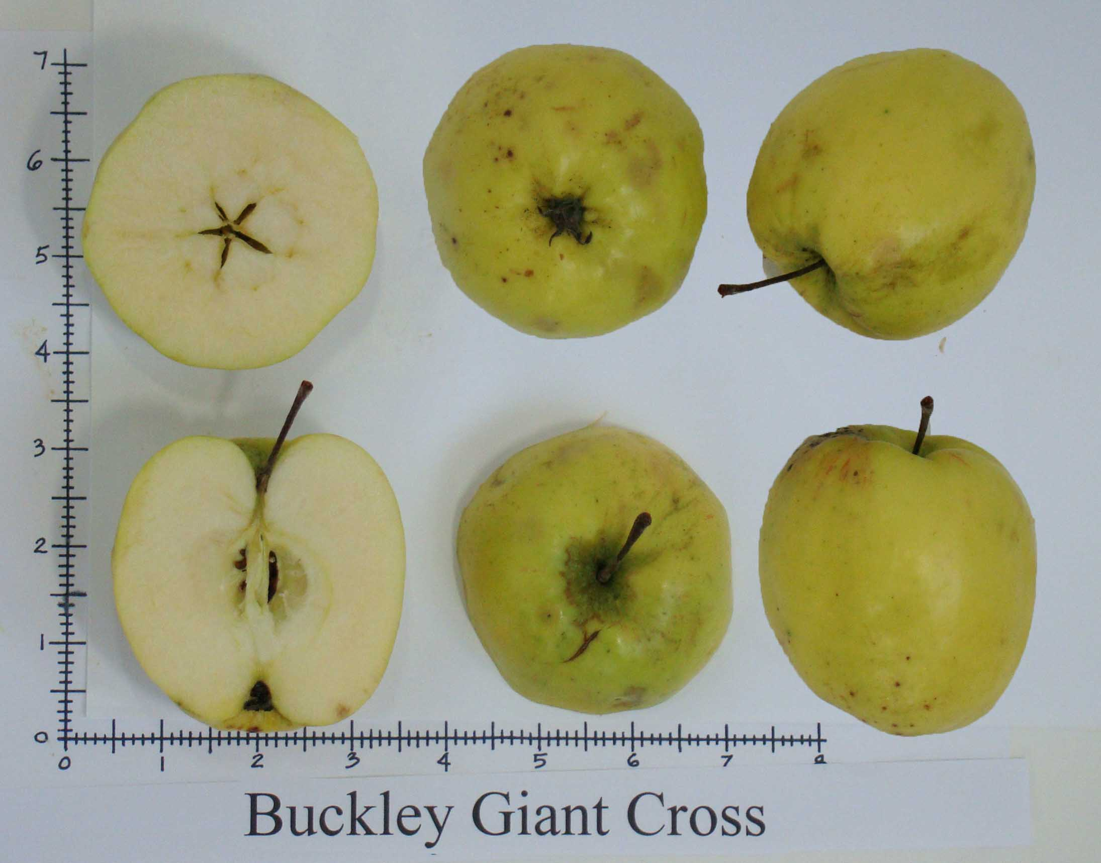 Buckley Giant 1