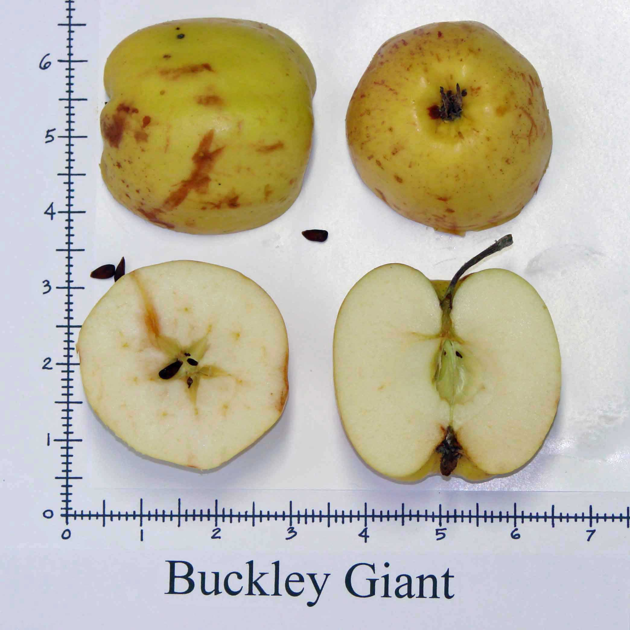 Buckley Giant 2