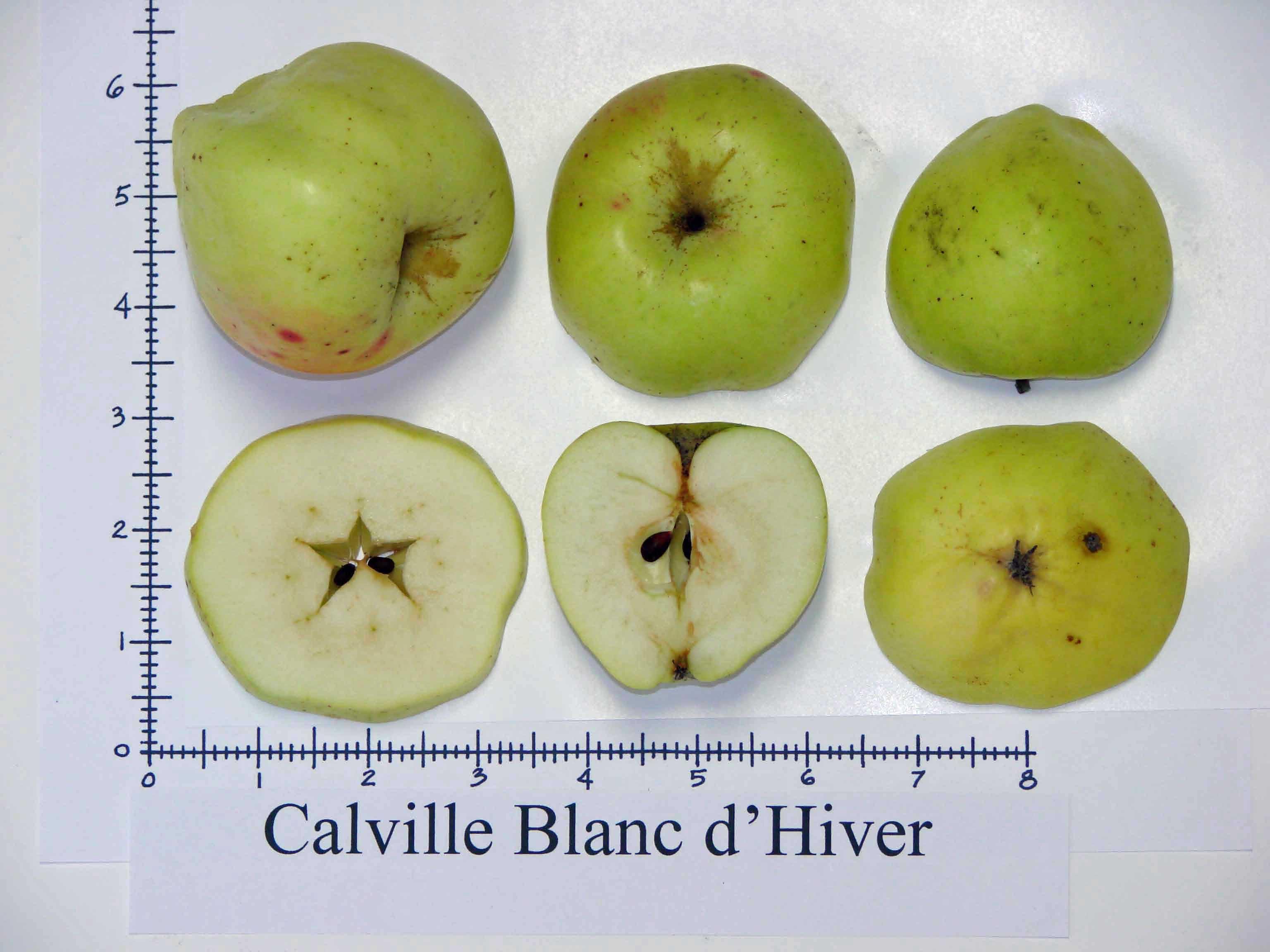 Calville Blanc d\'Hiver