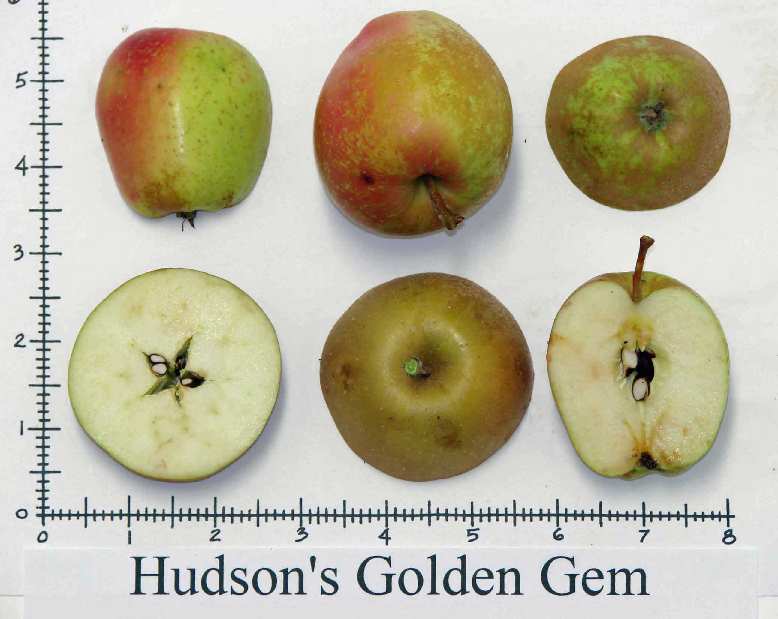 Hudson\'s Golden Gem
