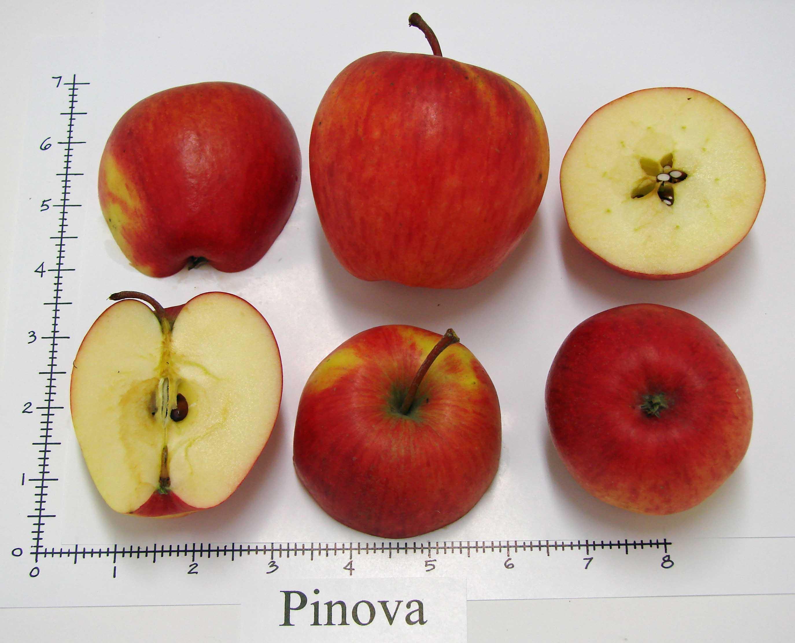 Pinata (Pinova)