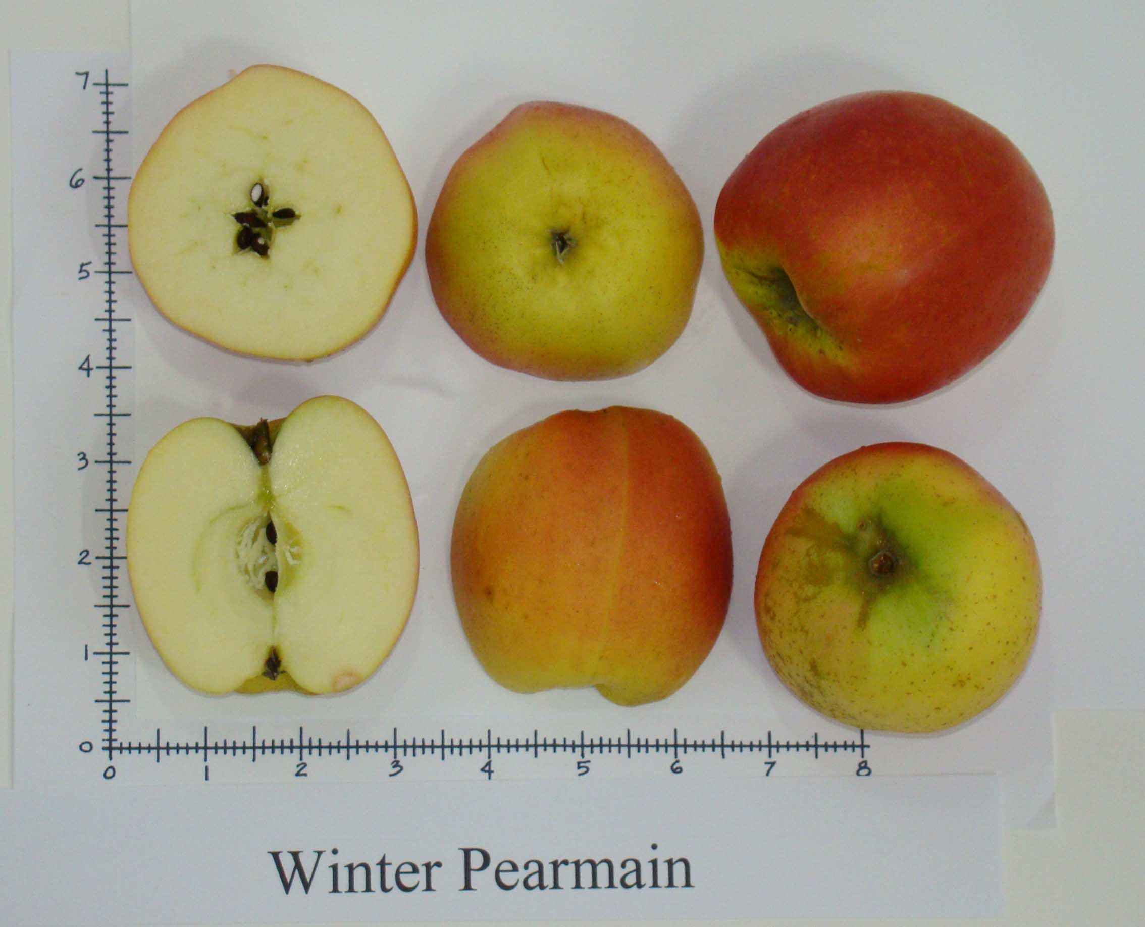 Winter Pearmain